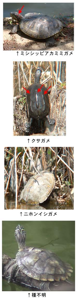 種類 カメ 小さいカメの特徴を種類別に解説!それぞれの飼育方法とは [爬虫類・両生類]